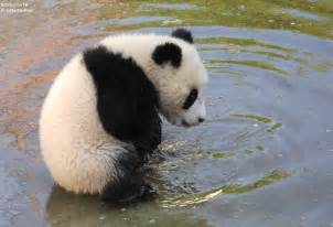 attractive Trim A Home Christmas Decorations #4: Cute-Panda-11.jpg