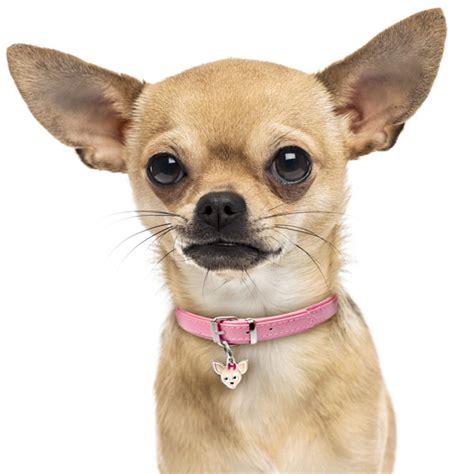 Paw Lotion Anjing chihuahua tag id alldogtags