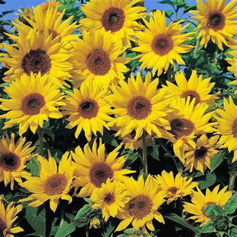 Sprei Sun Flower sunflower seeds flower seed annual flowers