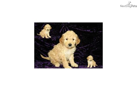 goldendoodle puppies jacksonville fl goldendoodle puppy for sale near jacksonville florida 267f278c 5591