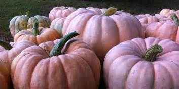 pink pumpkins beautiful