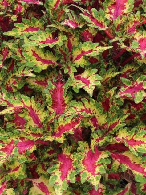 coleus globetrotters gaga coleus solenostemon pinterest products perennials and plants