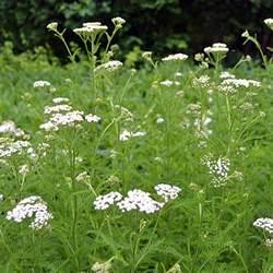 Spring Table Linens - white yarrow achillea millefolium
