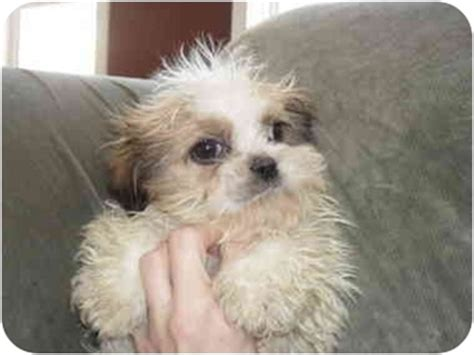 shih tzu maltese mix rescue august adopted puppy slc ut maltese shih tzu mix