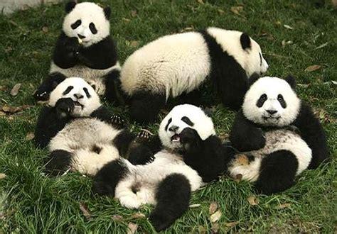 imagenes de animales wikipedia fotos de osos pandas ternura animal