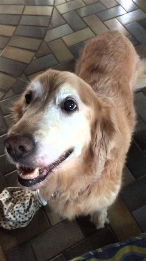 common cancer golden retrievers reacts to cancer test results viyoutube
