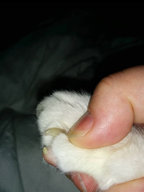 why does my his paws health why does my cat get calluses on his paw pads pets stack exchange