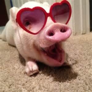 funny cute pigs tvoydosug