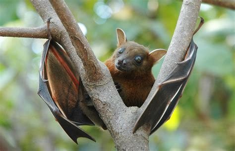 a fruit bat lesser nosed fruit bat