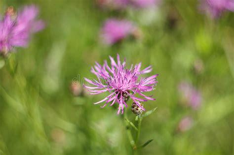 fiordaliso fiore foto fiore di un fiordaliso prato immagine stock immagine