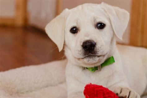 lab puppy names lab puppy names puppies puppy