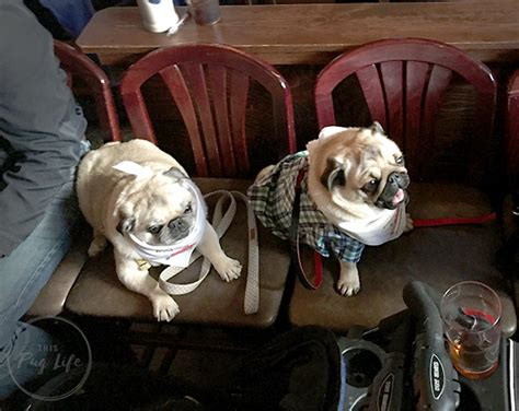 pugs chicago pugs take chicago clark ale house this pug