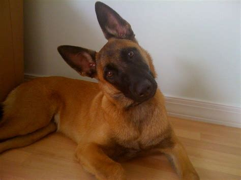 puppies for sale in san jose belgian malinois puppy for sale san jose california malinois puppies