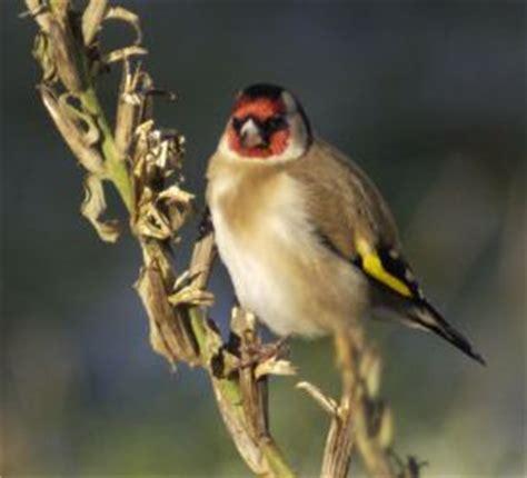 alimentazione per cardellini cardellino uccelli allevamento accessori
