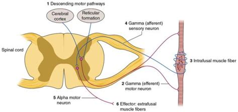 motor efferent motor learning and for gamma efferent