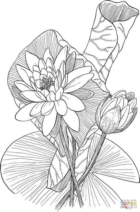 nymphaea odorata  fragrant water lily coloring page