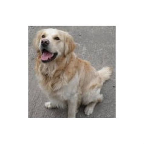 doodle puppies for sale scotland galloway goldendoodles in dumfries dumfries and galloway