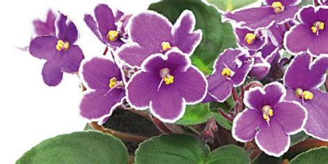 violetta fiori violetta africana poche cure tanti fiori cose di casa