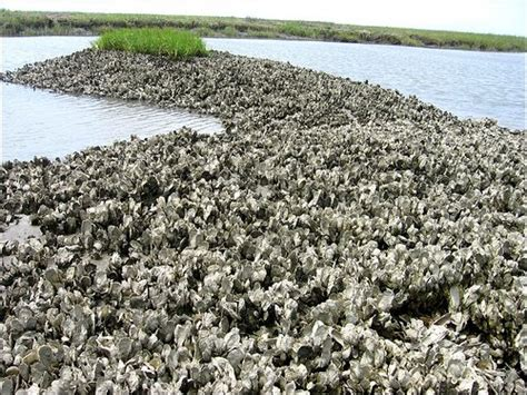 the oyster bed our watershed charleston waterkeeper