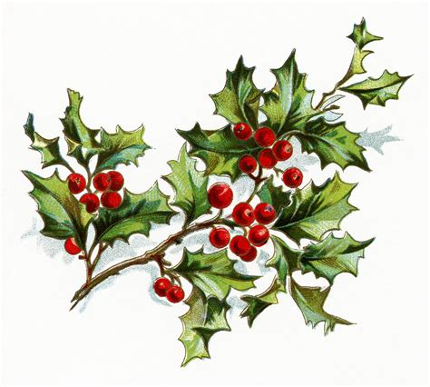 printable christmas holly free vintage image holly and berries old design shop blog