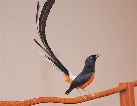 jual burung murai batu medan burung murai batu medan jenis burung murai batu arena burung