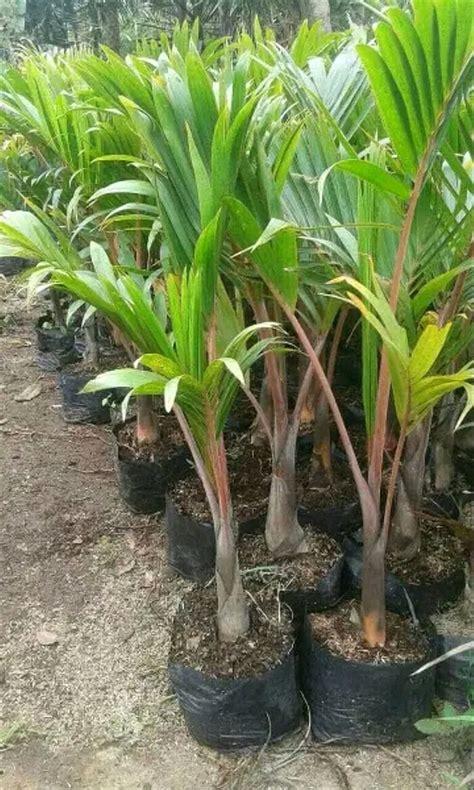 jual bibit pohon palem botol tanaman hias  lapak feri
