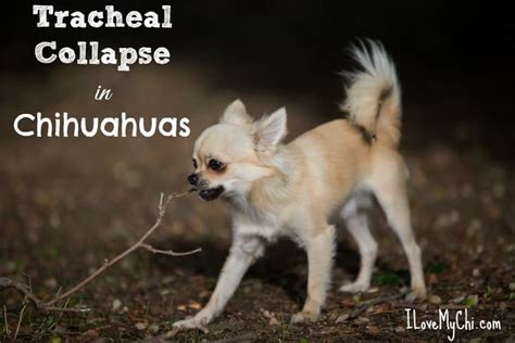 tracheal collapse in dogs tracheal collapse in chihuahuas i my chi