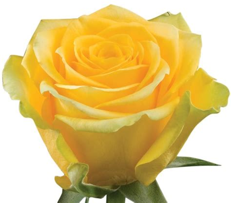 yellow roses valentines day prod code 100 stems yellow roses