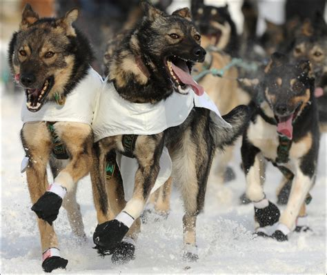 how do mushers their dogs for the iditarod 1000 images about iditarod on