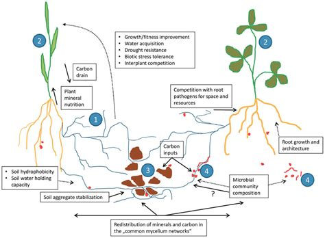 frontiers mycorrhizal hyphae as ecological niche for
