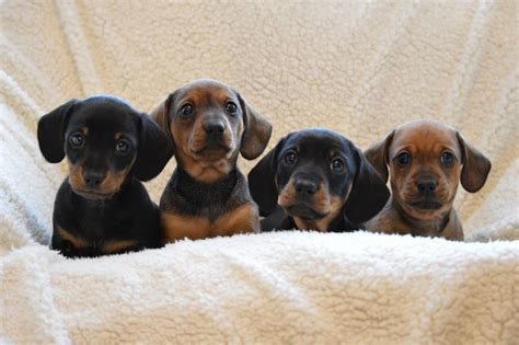 micro mini dachshund puppies for sale miniature smooth haired dachshund puppies for sale mold clwyd pets4homes