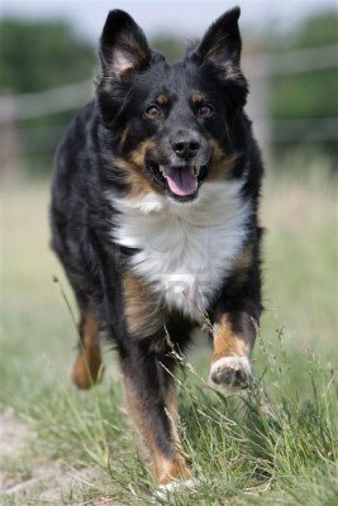 australian shepherd dogs dogs australian shepherd
