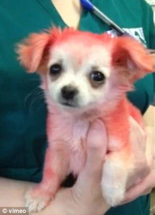 how to get dog hair off the couch how can you not love candy hot pink puppy with a broken