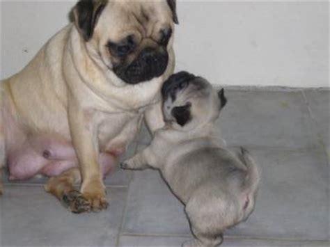 pug carlin dogs place because we care ninhada pug carlin