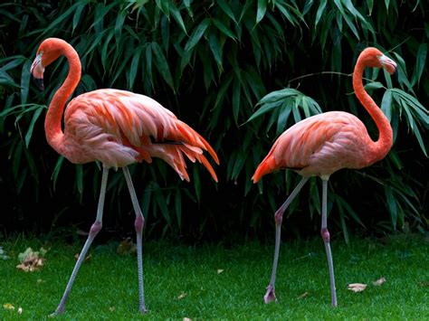 flamingo desktop wallpaper hd widescreen