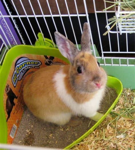 lettiere per conigli nani accessori per conigli e lettiera coniglio come insegnare