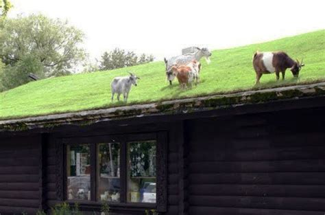 can i raise goats on a roof arlington passivhaus