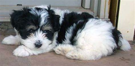 tri colored havanese images havanese photos az pictures havanese puppy photos images havanese photos