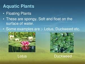 Lotus Adaptation Adaptations In Plants