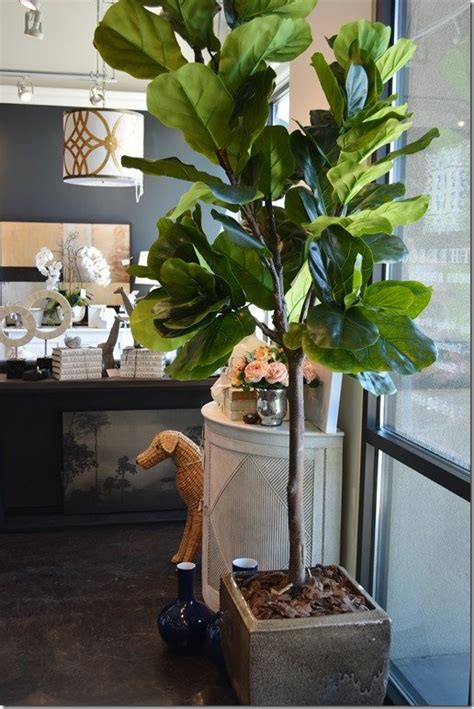 whats  wednesday fiddle leaf fig trees heather