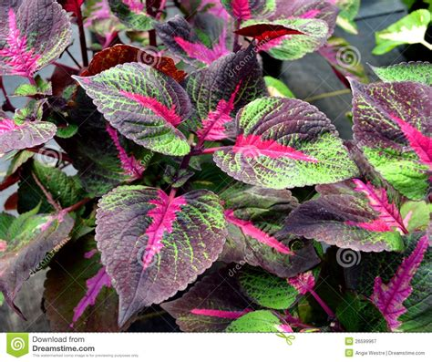 colorful house plant royalty free stock photography