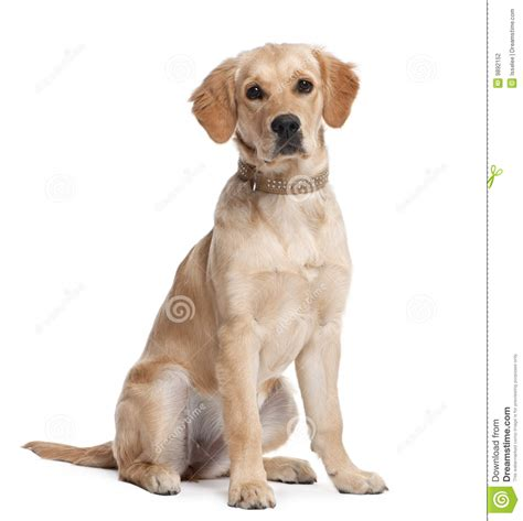 golden retriever at 5 months golden retriever puppy 5 months stock photography image 9892152