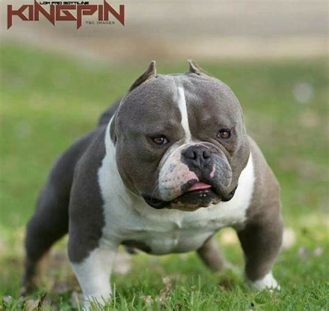 micro bully puppies micro bully puppies breeds picture