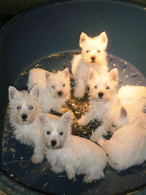 i want puppies i want all of these puppies westhighland terriers terrier