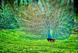 bird wall paper indian peafowl photos and wallpapers collection of the indian peafowl pictures