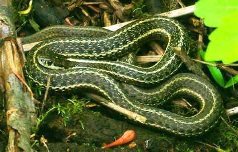 Garter Snake Oregon File Garter Snake At Noble Woods Park Hillsboro Oregon