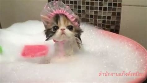 Can You Shower A Cat by A Daily Dose Of Happy A Kitten In A Shower Cap