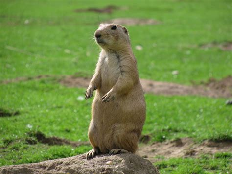 prairie dogs hd pictures prairie 33 81 kb