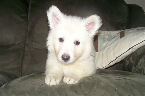 white puppy breeds small white breeds fluffy breeds picture