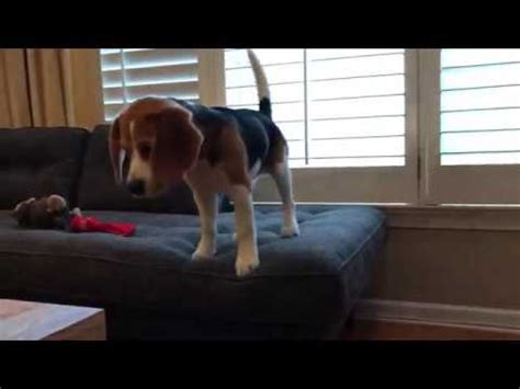 stop puppy from jumping on couch beagle puppy nervous about jumping off sofa youtube